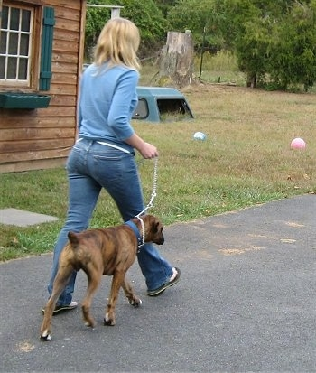 Bruno the Boxer being walked on a blacktop heeling next to a person
