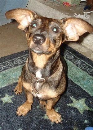 Doxie Pin Dog Breed Information And Pictures