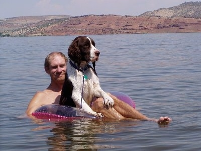 Bently, the English Springer Spaniel enjoying the water