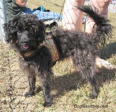 A little black wavy coated dog is wearing a yellow harness and standing in a field next to a chain link fence and in front of a person