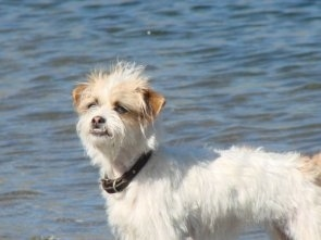 A white and tan Fo-Tzu dog is standing in front of a body of water. He has an underbite and his bottom row of teeth are showing.