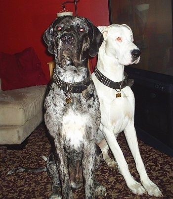 A black with grey and white English Mastiff/Great Dane is sitting next to a white Harlequin Great Dane next to a large screen flat TV and in front of an tan ottoman