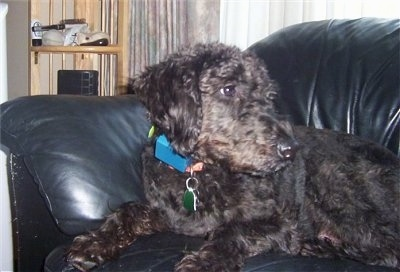 A black Giant Schnoodle is laying on a black leather couch and looking to the right.