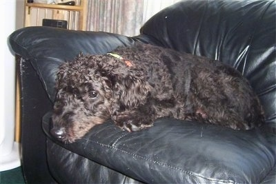 A black Giant Schnoodle is laying down on a black leather couch
