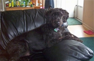 A black Giant Schnoodle is laying on a black leather couch with a fish tank behind it.