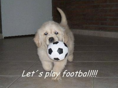 A cream-colored Golden Retriever puppy is running across a tan tiled floor with a soccer ball toy in its mouth. The words 'Let's play football!!!' are overlayed in white letters across the bottom of the image.