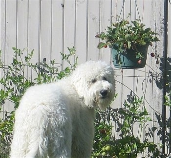 Deek the Goldendoodle is standing outside in front of a fenceand in front of a hanging potted plant. He is looking back at the camera holder
