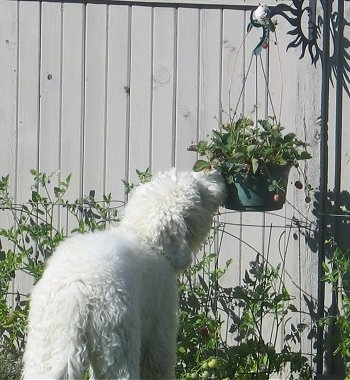 Deek the Goldendoodle is investigating the hanging potted plant by sticking his nose up to it