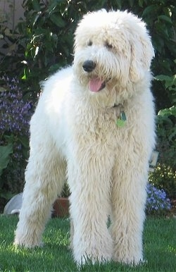 A furry white Goldendoodle is standing in front of a flower bed. Its mouth is open and tongue is out