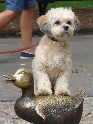A tan with brown and black Griffichon is standing with her front legs up on a brass duck statue outside with a person running behind her.