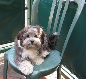 A grey with white Havanese puppy is laying outside on a green plastic chair