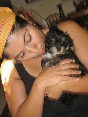 A lady a wearing a yellow head scarf is holding and looking down at a small black with tan and white Havanese puppy in her arms