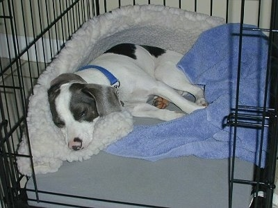 A white with grey and black Jackabee dog is sleeping on a dog bed inside of a dog crate
