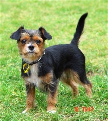 A black with brown and white King Charles Yorkie dog is standing with its tail up in grass.