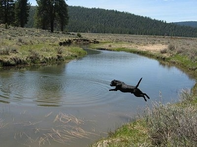 Action shot of dog in mid-air - A black Labrador Retriever is jumping into a body of water.