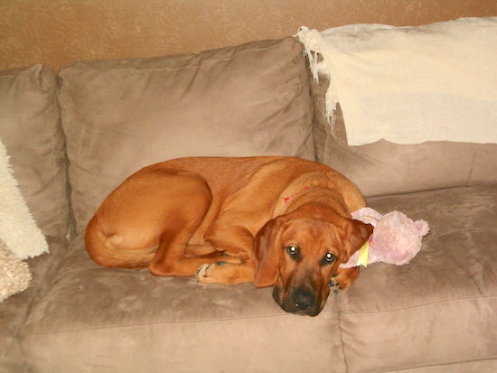 A tan Labloodhound is laying on a tan couch on top of a pink teddy bear plush toy. There is a white throw blanket hanging over the top of the couch.