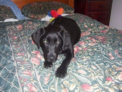 A black Labrador Retriever puppy is laying on a human's bed and there is a colorful plush doll behind it.