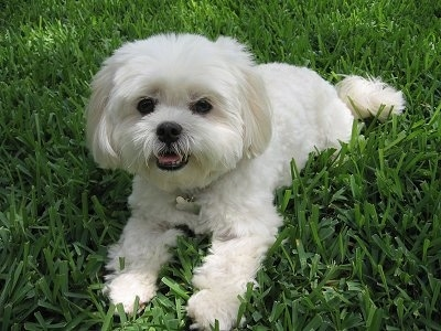 Mia the Lhatese (Lhasa Apso / Maltese Hybrid) at 5 years old