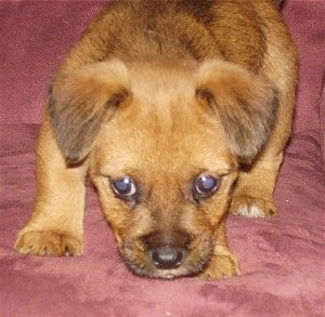 Oska, the Patterdale Terrier / Jack Russell Terrier mix as a young puppy