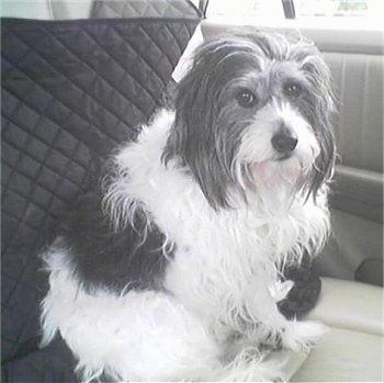 A black and white photo of a long-haired Malteagle dog sitting in the backseat of a vehicle.