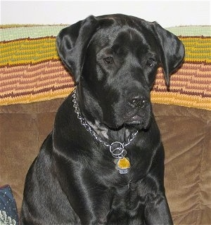 Upper body shot - A black Mastador dog is sitting on a couch that has a colorful earthy throw rug over the top of it.