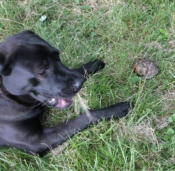 A large playful looking black Mastador dog is laying in grass and there is a box turtle inside of its shell in front of it.