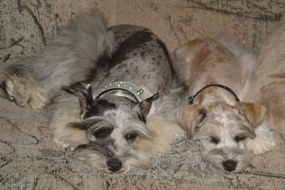 Two merle Miniature Schnauzzies are sleeping on a tan patterned couch.