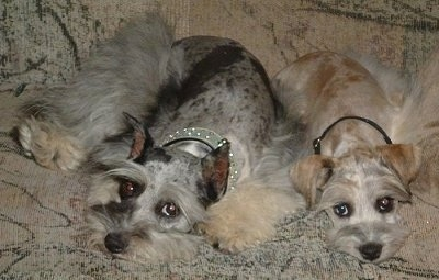 Two merle Miniature Schnauzzies are laying down on top of a tan patterned couch and looking forward. Their coats are shaved on their bodies and the hair is left long on their legs and face.