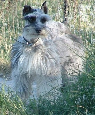 A fluffed out blue-merle Miniature Schnauzzie dog is standing on a path in between tall grass.