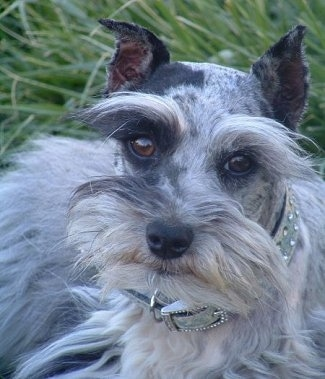 Close up head shot - A blue-merle Miniature Schnauzzie is laying outside in grass. The dog is wearing a silver collar wtih shiny diamonds on it and its coat is long on its face and sides.