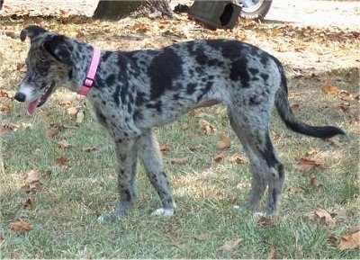 Left Profile - A merle colored black and grey Catahoula Leopard/Australian Shepherd mix breed dog is wearing a pink collar  standing in grass with its mouth open and tongue out.