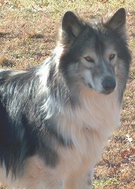 Zakai Ashkii Elu, the Native American Indian Dog