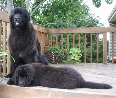 Two dogs on a wooden deck in front of a house, a puppy and an adult. The black Newfoundland puppy is laying down sideways across the front and behind it is the black adult Newfoundland dog sitting down with its mouth open and tongue showing. Both dogs are fluffy like black bears.