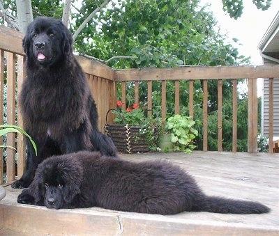 Deux chiens sur une terrasse en bois devant une maison, un chiot et un adulte.  Le chiot noir de Terre-Neuve est couché sur le côté sur le devant et derrière, le chien noir adulte de Terre-Neuve est assis avec la bouche ouverte et la langue visible.  Les deux chiens sont moelleux comme les ours noirs.