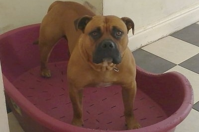 Front view - a tan with black and a tuft of white muscular Old Anglican Bulldogge is standing on a red plastic dog bed.