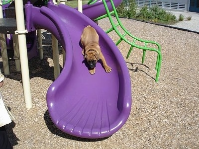 A tan with white Olde Victorian Bulldogge is sliding down a purple sliding board at a park.