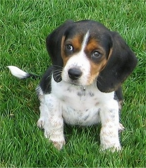Beagle) (Olde English Pocket Beagle) (Miniature Beagle) (Toy Beagle