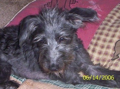 Side view - A shaggy-looking black wire haired Pootalian dog is laying on a colorful blanket and it is looking forward.