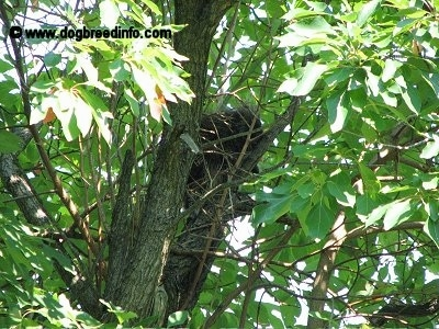 Close Up - A Porcupine is sitting in a tree surrounded by branches