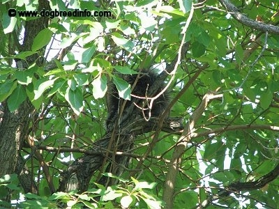 A Porcupine surrounded by leaves in a tree