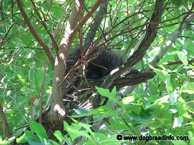 The left side of a Porcupine that is sitting in a tree with a bunch of leaves around him