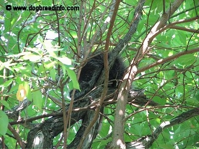 A Porcupine sitting in a tree
