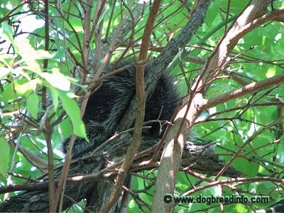 Close Up - The back of a Porcupine that is sitting in a tree surrounded by branches