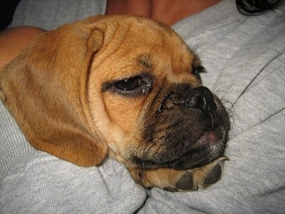 Close up head shot - A red Puggle puppy is laying in the arms of a person in a grey shirt.