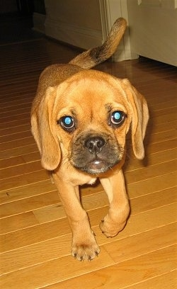 Front view - A red Puggle puppy with long ears is walking down a hardwood surface and it is looking forward. It has large round eyes.