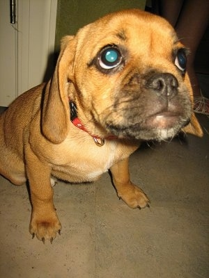 Close up - A red Puggle puppy is sitting on a carpet, it is leaning forward and it is looking up. It has large round eyes and the focus is on the dog's head.