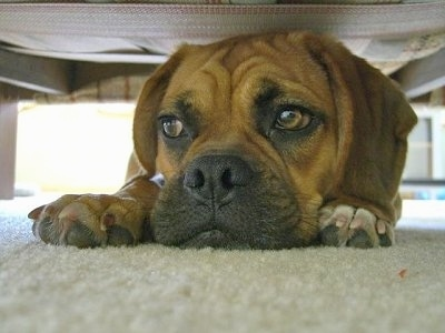 Close up front view - A brown with black Puggle is laying down on a tan carpet under a bed and it is looking to the left. It has wrinkles on its head and its eyes are brown.
