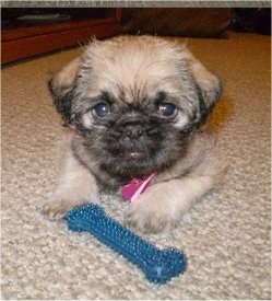 Front view - A tan with black Pughasa puppy is laying on a tan carpet with a blue bone toy in front of its front paws.