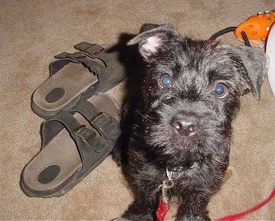 Wally, the Pugottie (Pug x Scottish Terrier) puppy at 4 months old