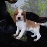 A small white and tan Queen Elizabeth Pocket Beagle puppy is standing on top of a backdrop looking forward.